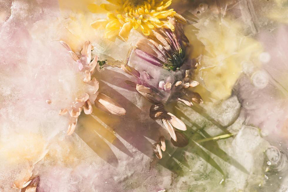 macro frozen ice flowers tiffany kelly