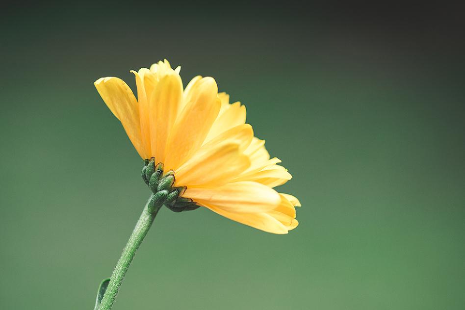 macro yellow daisy tiffany kelly