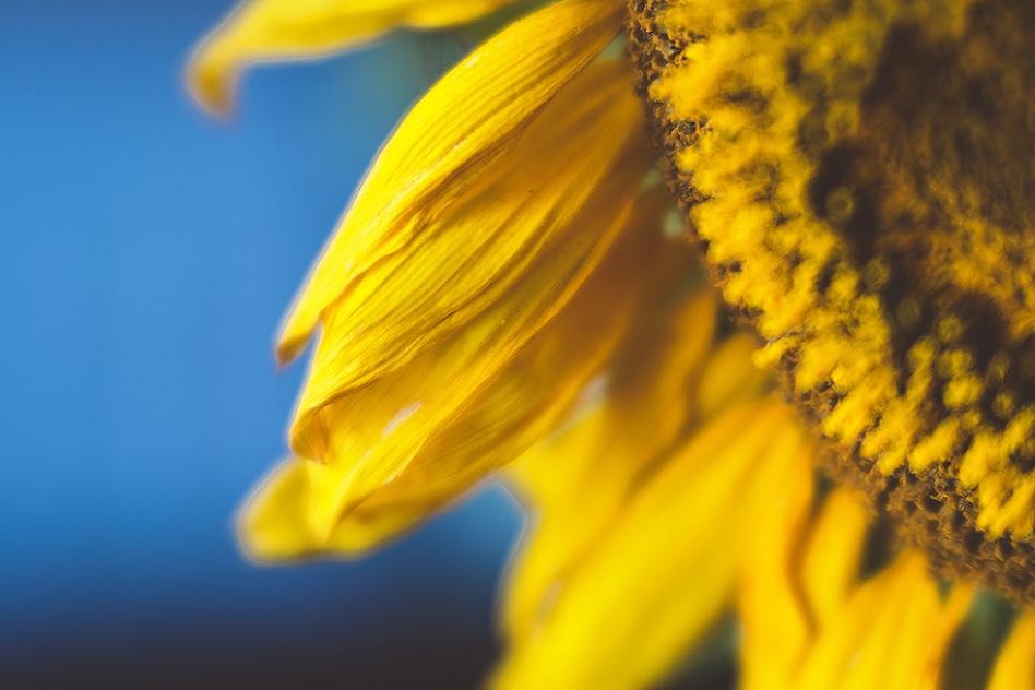 lensbaby velvet sunflower macro