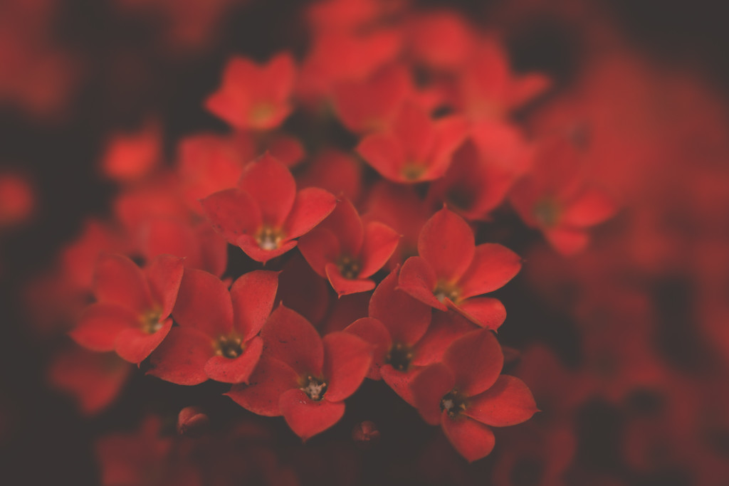red flower macro tiffany kelly