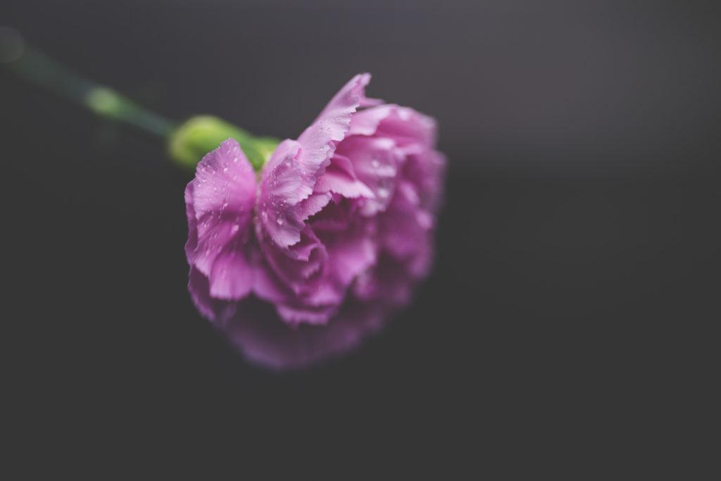 tiffany kelly carnation macro